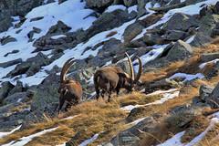 Val d'Aosta - Valsavarenche, stambecchi (mariagraziaschiapparelli) Tags: autunno montagna valdaosta escursionismo camminata stambecco valsavarenche meye pngp allegrisinasceosidiventa