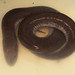 Three-toed Amphiuma