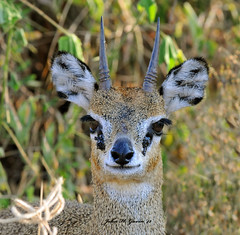 JHG_6258 -b Klipspringer, Tsavo West, Kenya. (GavinKenya) Tags: africa wild nature animal june john mammal photography gavin photographer kenya african wildlife july grand safari dk naturephotography kenyasafari africansafari 2015 safaris africanwildlife africasafari johngavin wildlifephotography kenyaafrica kenyawildlife dkgrandsafaris africa2015 safari2015 johnhgavin