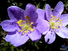 Anemone nemorosa 'Bowles's Purple'