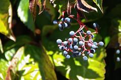 blauwe bessen wilde wingerd (JANKUIT) Tags: wilde ephesus efes parthenocissus kusadasi efeze ephesos sirince quinquefolia irince wingerd ephes