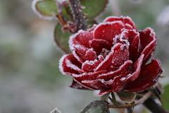 Gele (Kiki f.c) Tags: flower fleur rose automne plante frozen novembre froid givre gele