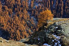 Val d'Aosta - Valsavarenche, larici (mariagraziaschiapparelli) Tags: alberi foliage autunno valdaosta escursionismo camminata valsavarenche larici pontvalsavarenche pngp gruppodelgranparadiso allegrisinasceosidiventa