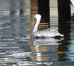 Pelican (dramadiva1) Tags: usa nature water reflections wildlife pelican fortlauderdale waterfowl