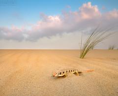 Sand Fish   () Tags: fish sand desert qatar  sandfish