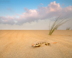 Sand Fish سمكة الرمال (معضاد) Tags: fish sand desert qatar سلطان sandfish قطر صحراء سمكة معضاد سحالي العسيري الرمال كثبان سحلية دماسة دموسة