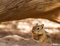 Golden-mantled ground squirrel scouting the territory (Nancy Asquith) Tags: squirrel groundsquirrel brycecanyonnationalpark goldenmantledgroundsquirrel platinumheartaward brycecanyonnationalparkwildlife americansouthwestwildlife