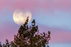 Sunrise supermoon (SimonLea2012) Tags: uk d7000 nikon heavenlybody sky craters morning telephoto astronomical dawn lilac pink sunrise lunar moon supermoon