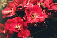 1783-02-002 (4emmephotography) Tags: flowers nature colors pink rosa spring canon fiori natura beuty simple light day daylight feeling love