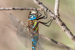 Migrant Hawker (Aeshna mixta, male) (Teo Martnez (temege)) Tags: insectos insects invertebrados odonatos dragonfly liblulas naturaleza nature aeshna mixta azul blue alicante espaa