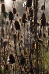 Cobweb and teasels (Mark Heine Photos) Tags: cirrus wilsonflats elora sunrise tree grandriver spiderweb clouds teasels ontario markheine morning canada cobweb field westmontrose ca