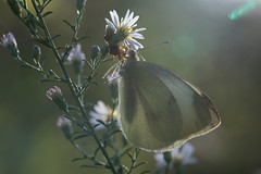 Jagged Ambush Bug (Phymata americana) feeds on a White Cabbage Moth (Pieris rapae) (CooperativeVerse) Tags: 2016 macro canon eos 5d4 5div 100l ambushbug bugs carnivorous