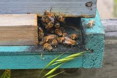 Lago Rapel (gabicontrerasb) Tags: abejas bees chile