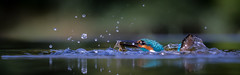 Emergence (Mr F1) Tags: kingfisher king johnfanning bird prey water emergence uk alcedoathis blue electric fish caught wild colourful colour color beautiful