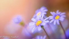blue light autumn (frederic.gombert) Tags: flower flowers light sun rain raindrop doplet droplet blue yellow orange color colors macro nikon d800 1001nights