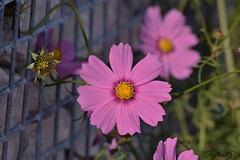 Happy Fence Friday!HFF! (martinap.1) Tags: hff happy fence friday zaun flower fenced nikon d3300 55200mm