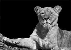 Panthera leo (earthquakeeddy) Tags: panthera leo hagenbeck zoo lwin schwarzweis olympusomdem1 40150mmf28pro silverefexpro ipad pencil pixelmator photogene ngc olympuskameras
