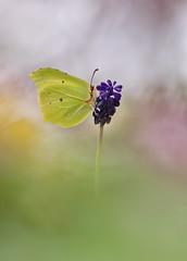 mi trono azul (ALQVIMIA) Tags: gonepteryx rhamni mariposa pieridae muscari neglectum flor flower nature macro