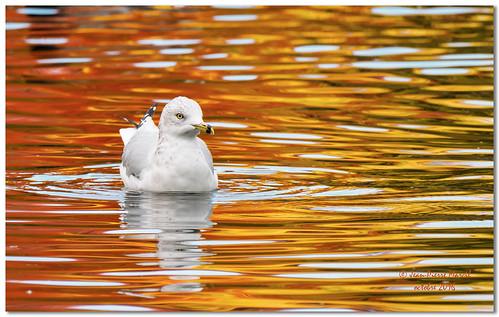 Goéland à bec cerclé - Ring-billed Gull_EM52-8932