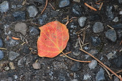 IMG_9463 (ctmarie3) Tags: banffnationalpark lakeminnewanka stewartcanyon trail fallcolor leaves