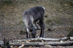 Reindeer Wildwood 270816 (Dan86401) Tags: reindeer rangifertarandus animal mammal wildlife nature capreolinae wildwood