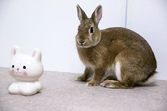 Ichigo san 426 (mensore) Tags:  rabbit bunny netherlanddwarf brown cute pet family ichigo