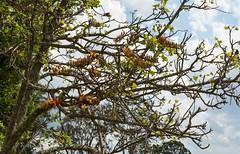 Erythrina numerosa (dustaway) Tags: fabaceae faboideae erythrinanumerosa pinemountaincoraltree arfp nswrfp qrfp dryarf vinethicketarf arfflowers apricotarfflowers orangearfflowers inflorescences racemes flowers branching tullera northernrivers nsw australia australianrainforestplants australiantrees