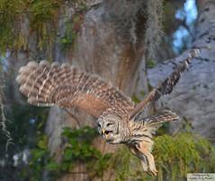 D71_0209 (Capt A.J.) Tags: barred owls