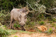 Warthog standing still for a photo (charissadescande) Tags: africa africanus portrait natural safari hog phacochoerus mammal young south animal male national herbivore reserve african mud game white kruger savanna family southafrica addo ecology large teeth close pumba outdoor nature up boar common isolated wild warthog elephant wildlife southern travel grass big pig ugly park fauna tourism wilderness tusk