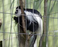 Zoo Ffm Kikuyu-Guereza (Colobus guereza kikuyuensis) P1020103 (martinfritzlar) Tags: zoo frankfurt tier sugetier affe meerkatze stummelaffe mantelaffe guereza kikuyaguereza cercopithecidae colobus kikuyuensis monkey