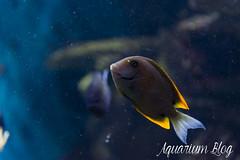 Ctenochaetus tominiensis (AquariumBlog.es) Tags: acuario aquarium peces fish pez marino saltwater water freshwater dulce agua corales payaso clown sepia acantharus pterois pomacanthus barcelona arrecife reef