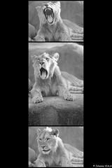 Atlas baille ! (Johanna Viala) Tags: lionceau fatigue baillement pzp parczoologiquedeparis zoo zoodevincennes animaux