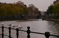 We ain't cold! (Skylark92) Tags: nederland netherlands holland amsterdam gracht canal herfst autumn water seagull seagulls zeemeeuw zeemeeuwen jacob catskade van der palmkade eerste kostverlorenkade