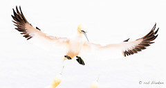 Hostile landing (4) (Rob Blanken) Tags: gannet northerngannet janvangent morusbassanus flight