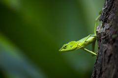 Green Crested Lizard (Global Wildlife Conservation) Tags: bronchocelacristatella palawan philippines puertoprincesa animal day green greencrestedlizard lizard nature reptile wildlife