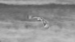Short-eared Owl (Asio flammeus) @ 1/60 (shaftination) Tags: asioflammeus bw raptor shortearedowl avian bird birdofprey black blackwhite blackandwhite curvedbill feathers flight flying grounddwelling hookedbill hunting inflight longwinged monochrome onthewing paulfarnfieldcom quartering rapere typical white