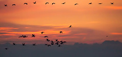 Migration de la Grue cendr (yann.dimauro) Tags: animaux ardenne champagne der faune lac oiseau ornithologie rhone yanndimauro tang
