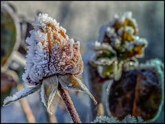 frozen rose / diamonds and pearls (Der Zeit die Augenblicke stehlen) Tags: blumenundpflanzen deutschland eos700d eis hth56 rose thomashesse winter gefroren nature frozen