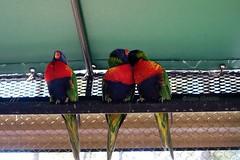 Rainbow Lorikeets (--Anne--) Tags: bird birds nature wildlife animals colorful rainbow lorikeet lorikeets preening