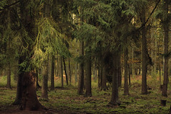 (nettisrb) Tags: tanne wald forrest bume germany deutschland wood trees tree natur naturerlebnis nature ey