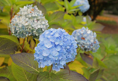 Hydrangea @ Nymans (Adam Swaine) Tags: nymans nymanssussex autumn autumncolours hydranga england english gardens sussexgardens canon swaine flowers flora naturelovers nature nationaltrust