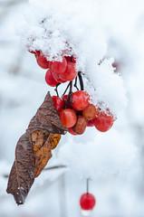 Rgal veirmeil (jora63) Tags: nature neige baie white snow feuille winter rouge red hiver extrieur leave blanc