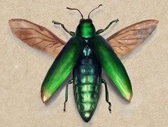 Jewel Beetle (Molly Nowell) Tags: illustration beetle art jewelbeetle