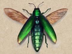 Jewel Beetle (Molly Nowell) Tags: illustration beetle art jewelbeetle