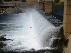 Salmon Run , Feather River, California (moonjazz) Tags: fish jump california salmon dam river oroville migration leap return feather northern nature