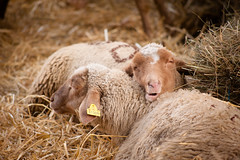 (anto291) Tags: pecore cagnessurmer châtaigne fêtedelachâtaigne festadellacastagna castagna