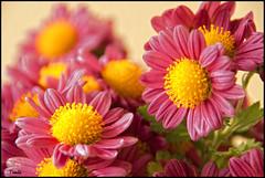 - chrysanthemum flower- (Tomas Mauri) Tags: chrysanthemumflower espaa catalua rosa amarillo verde