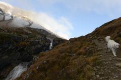 Mogli liked the new hiking trail, too. (balu51) Tags: wanderung landschaft wanderweg bergbach wasserfall morgen kalt schatten sonnenschein blauerhimmel schnee hund kuvasz ungarischerhirtenhunddoghaving funexploringrunningchecking out traillandscapemountainriverwaterfallwatermorningshadowcoldfrostyskybluesunshineautumnfalloktober2016copyright by balu51