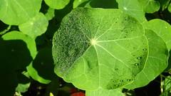 Nasturtium leaf, morning dew, in the yard of my late sister-in-law (Martin LaBar) Tags: nasturtium leaf dew dewdrops waterdrops tropaeolaceae tropaeolum
