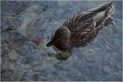 1073- Y AHORA UN PICADO DE PATO EN PLITVICE- CROACIA - (-MARCO POLO--) Tags: parques rincones animales lagos cascadas naturaleza